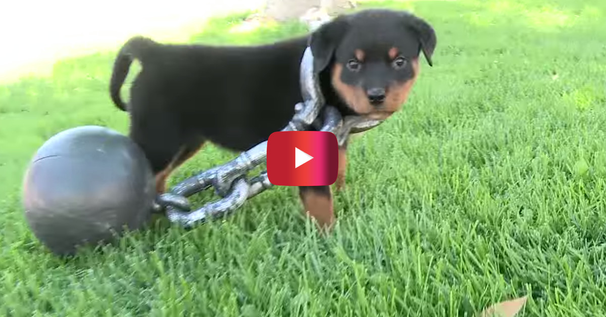 Rottweiler puppy rolls around with this ball and chain collar