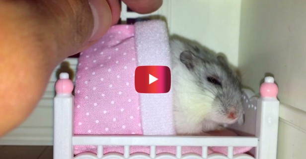 This hamster really, really loves bedtime