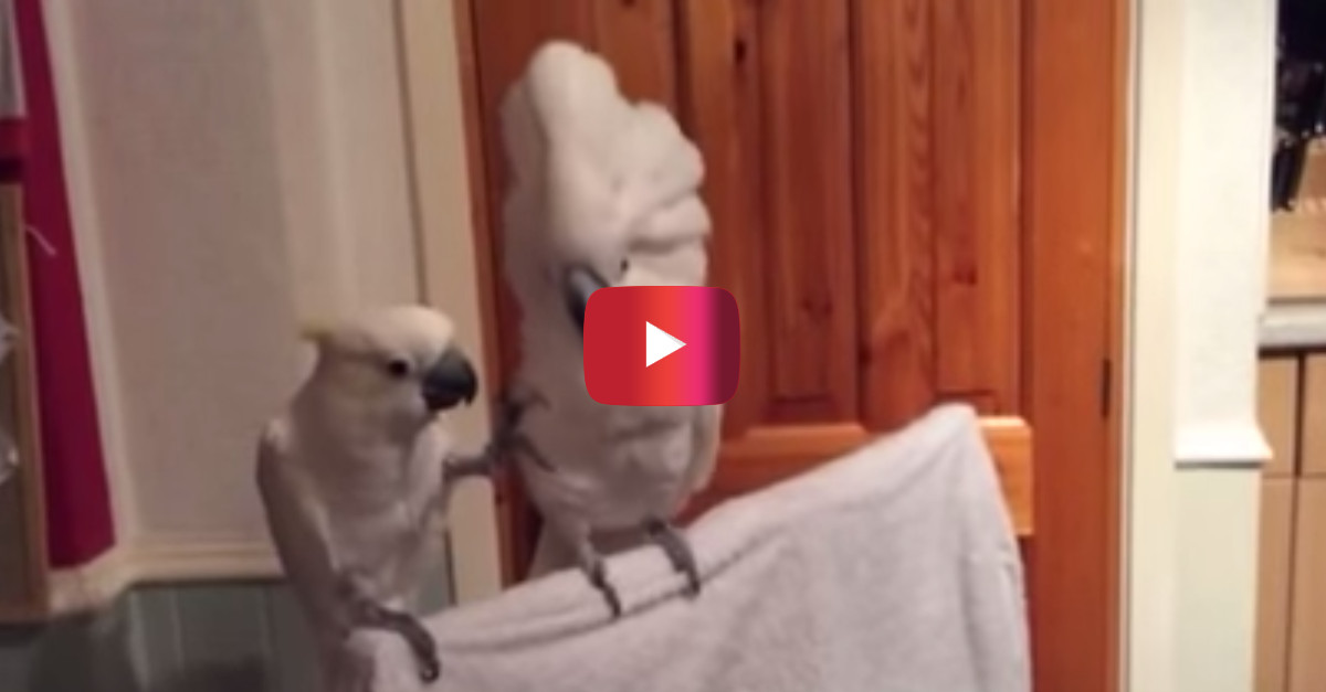 You won't find a cockatoo that's a bigger fan of Elvis than this one