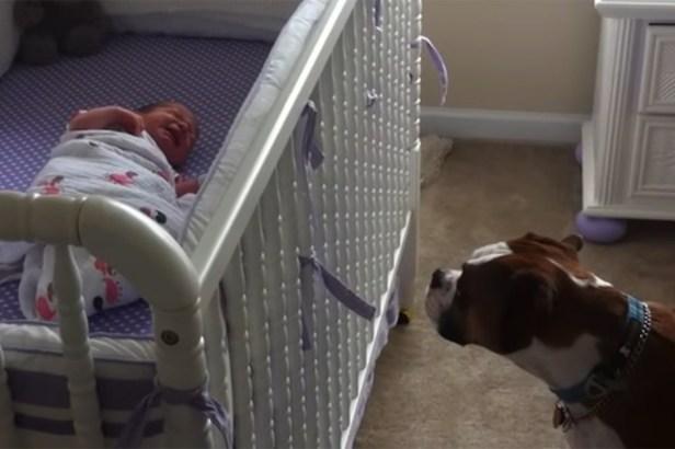 Boxer Dog Keeps Watch Under Newborn's Crib, Cries When Baby Cries