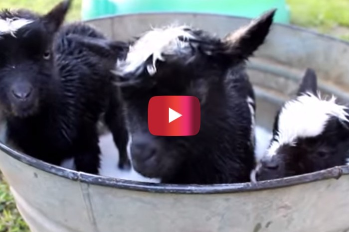 After you watch this, you'll want to take these goats home with you