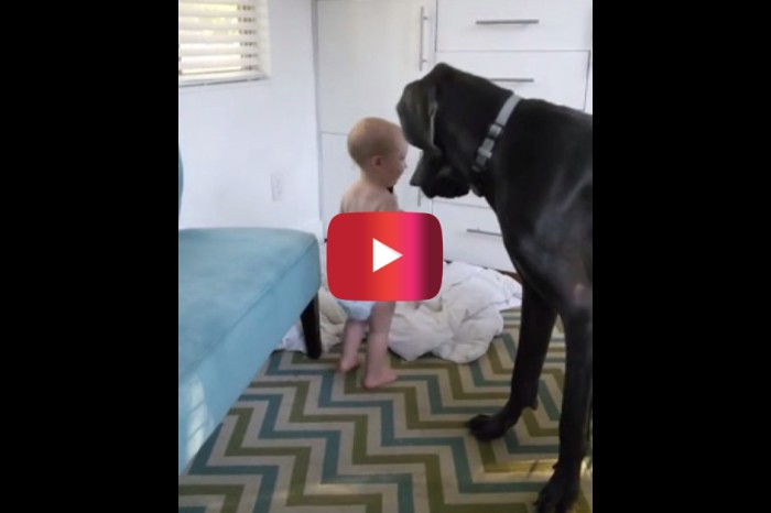 A Great Dane is no match for this baby who shows the pup exactly who is in charge