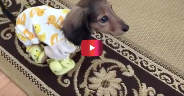 You need more pajama-wearing Dachshunds in your life — the cutest 7 seconds of the day