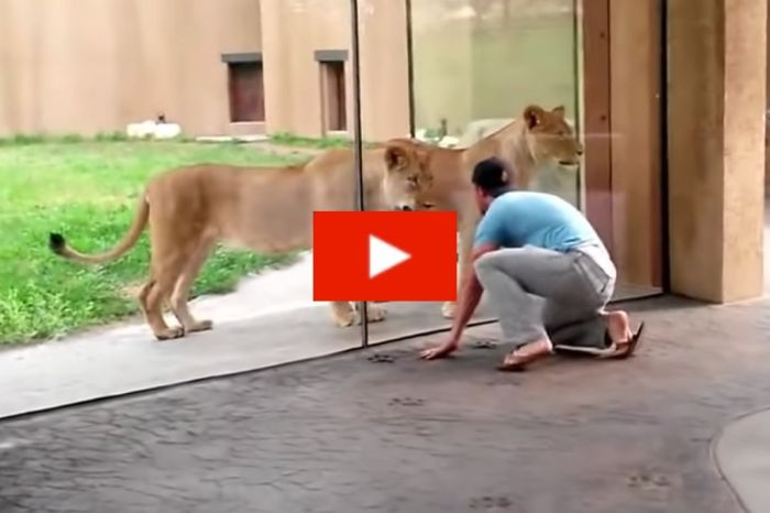 Man Has Playful Showdown With Lioness At Zoo But Gets Very Lucky