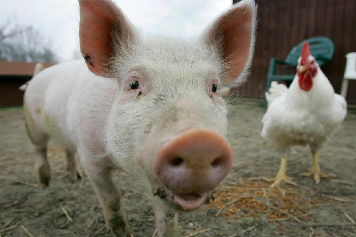 Rethinking Farm Animals