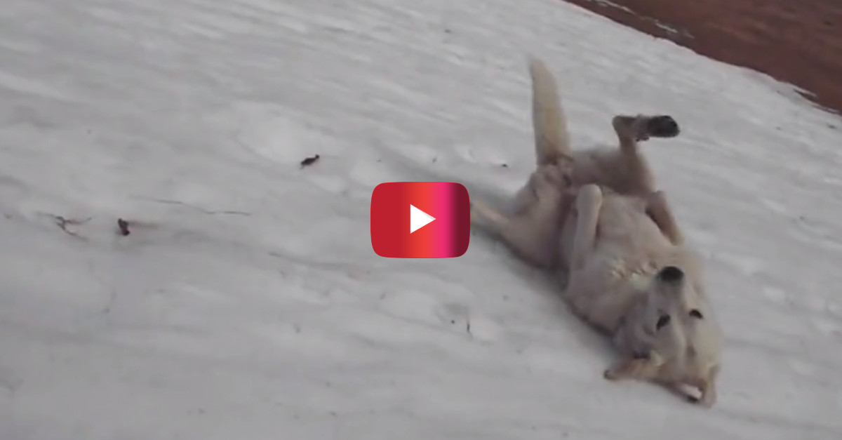This dog continuously sliding down a snowy hill before it melts is living his very best life