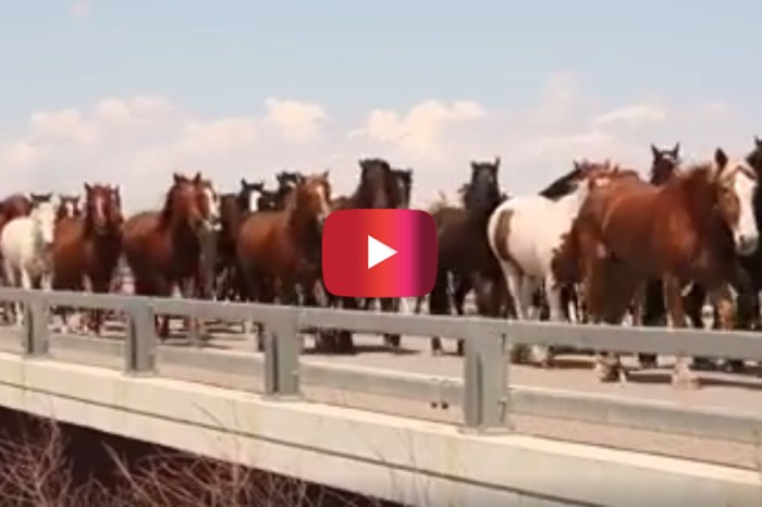 Watching hundreds of stunning horses trot down a highway is a beautiful sight to see
