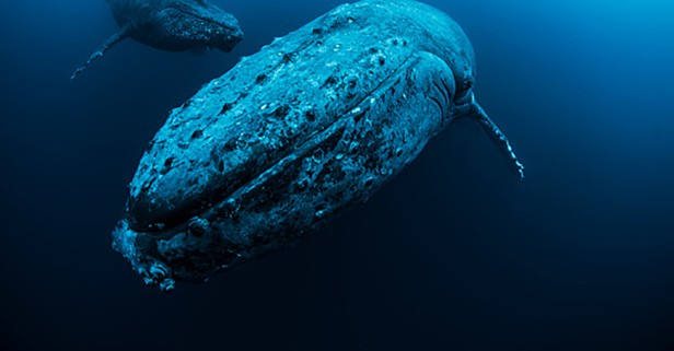 5 facts about humpback whales, the gentle giants of the sea