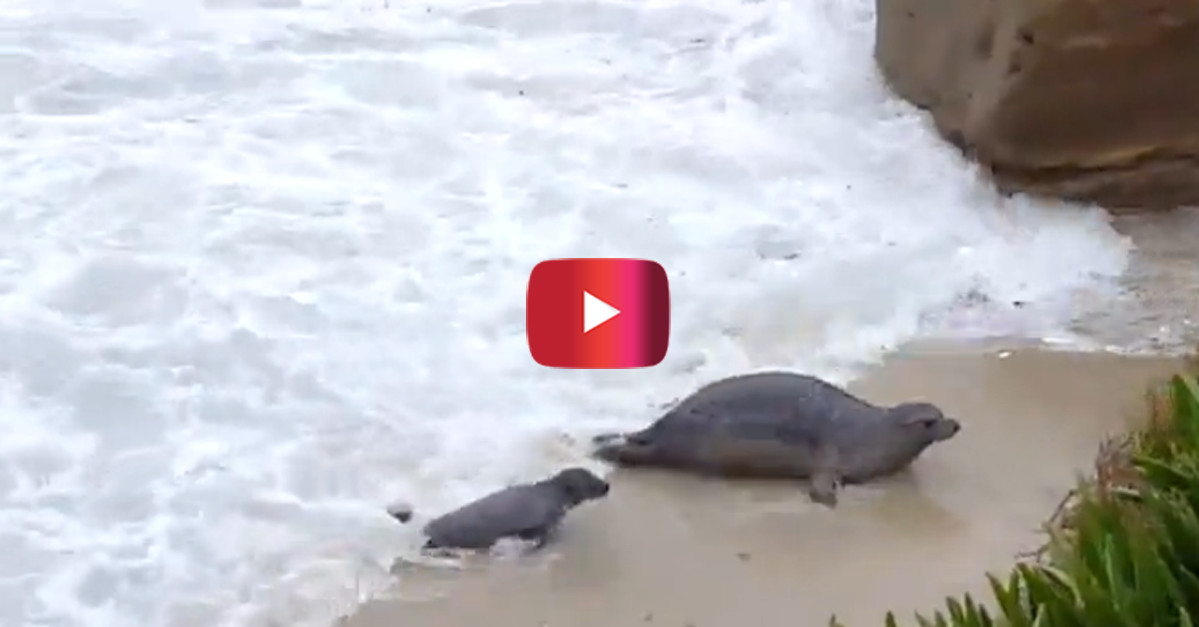 Deep waves can be really hard to conquer for a baby seal, but at least she has mom close by
