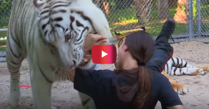Having a pet tiger seemed like a great idea, until playtime took a rough turn