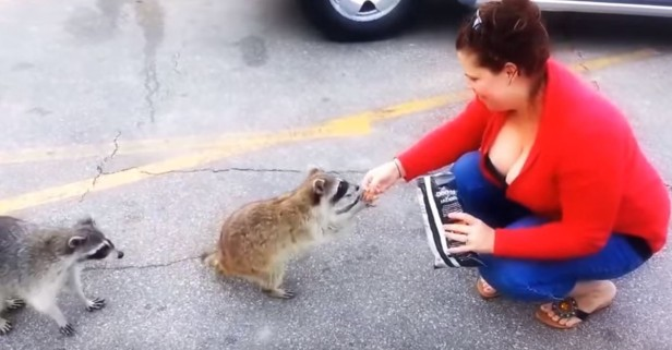 Raccoons are apparently obsessed with Doritos — but who knew they had such great manners?