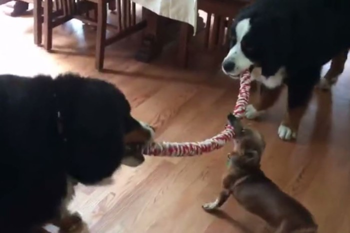 We're still trying to figure out how this tiny Dachshund pulled out a win in this epic contest