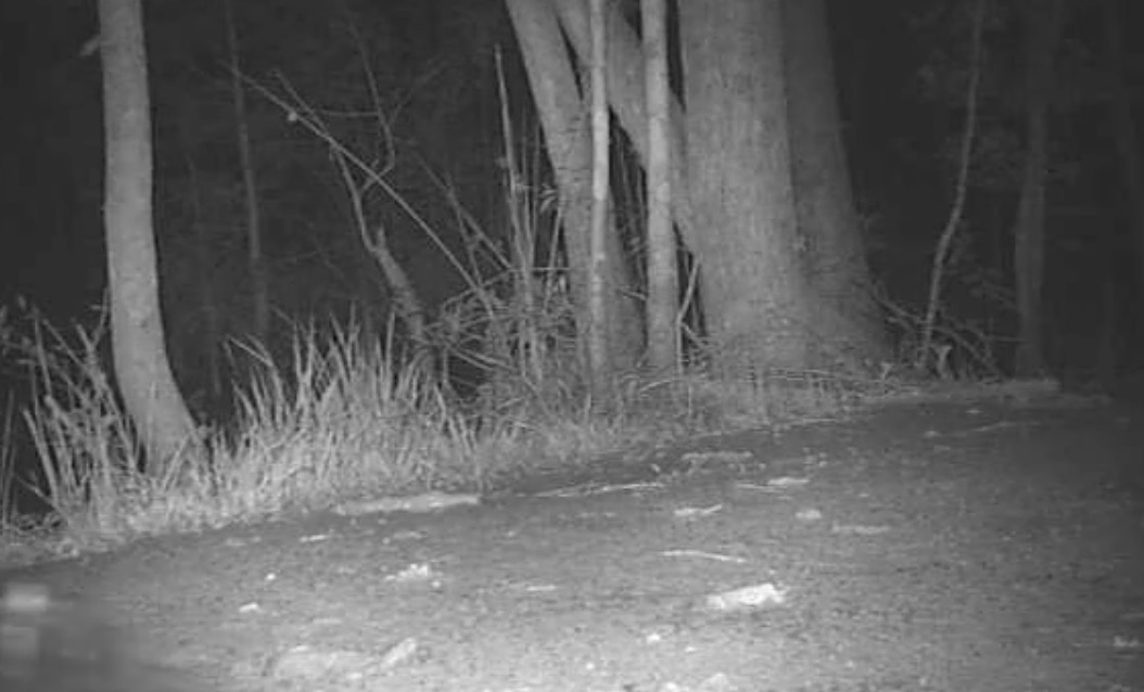Huge Wild Alligator Caught on Night Cam on Trail