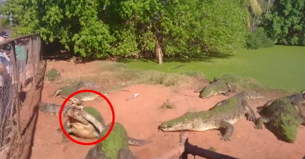 Cannibal Crocodile Eats His Croc Buddy's Leg Instead of Fish for Lunch