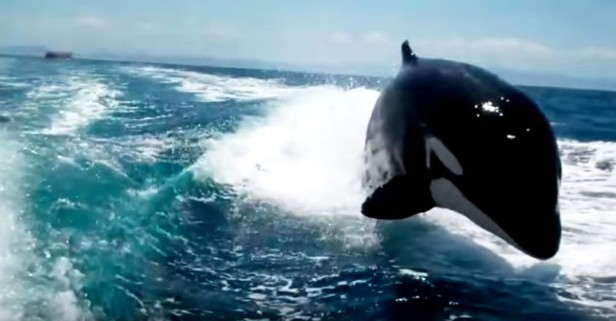 A family of orcas chased down a speed boat and it's both astonishing and nerve-wracking
