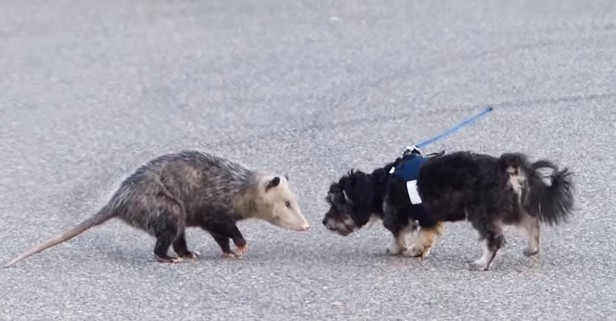 A cruel owner let his pooch battle an opossum — and he laughed the entire time