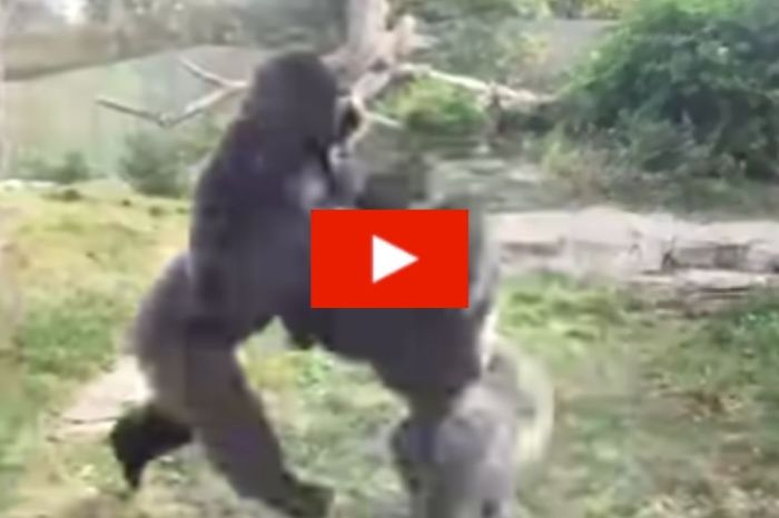 Two Male Gorillas Fight in Intense Boxing Match