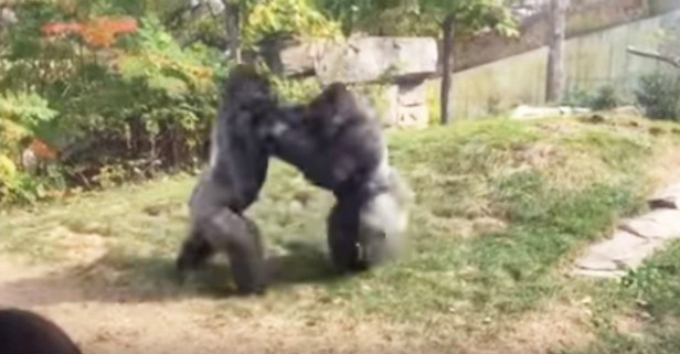 "As two gorillas boxed it out, one woman screamed, ""Where's the zookeepers?"""