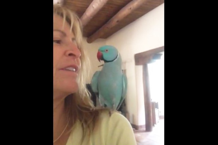 A parrot flies to its owner's shoulder and begins having a remarkable conversation
