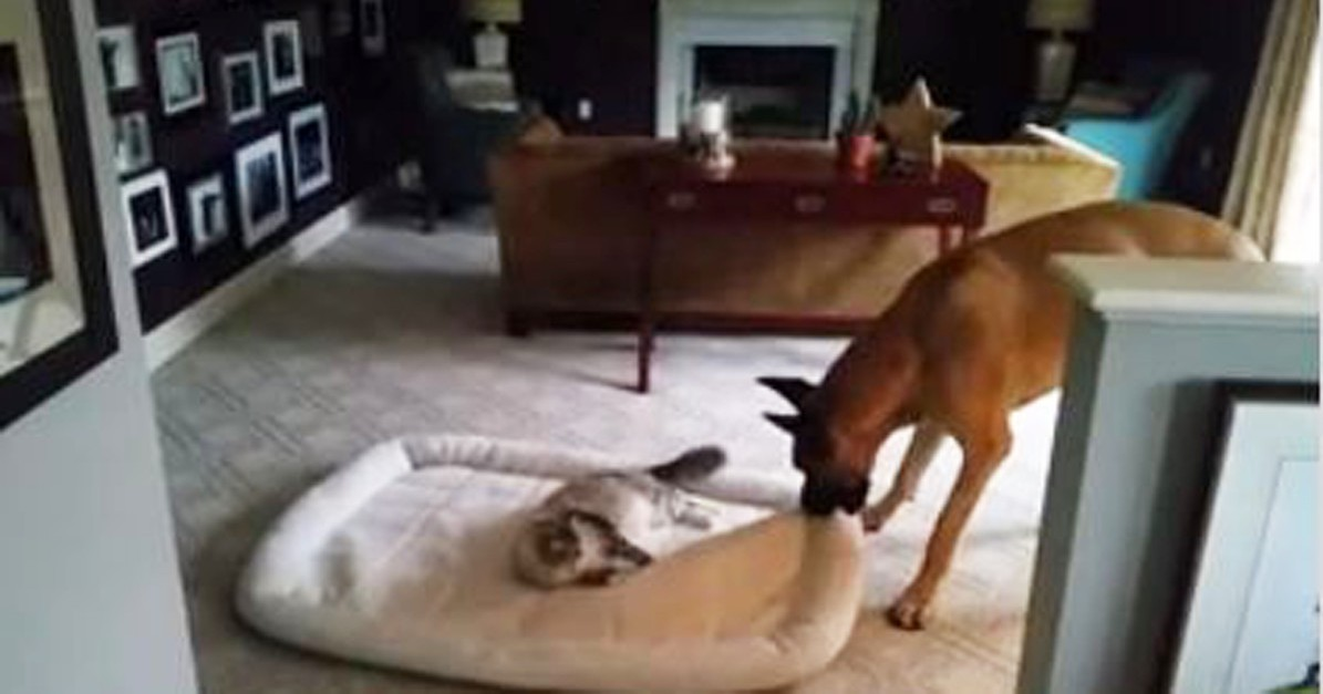 Big dog takes back his throne, completely unafraid of his archenemy: the house cat