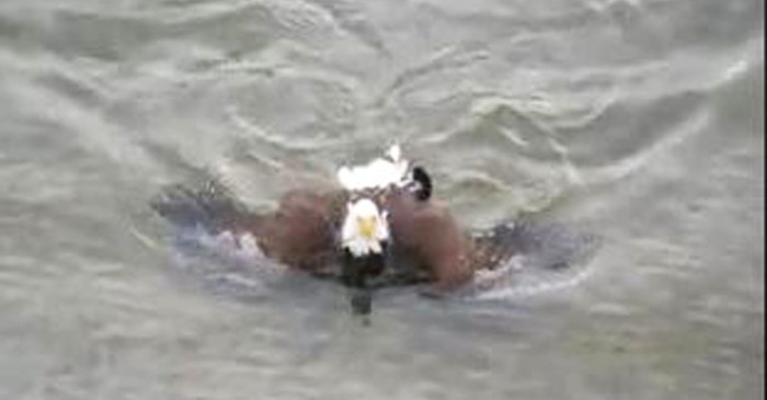 A vicious bald eagle swam to shore with its catch to keep it hidden underwater