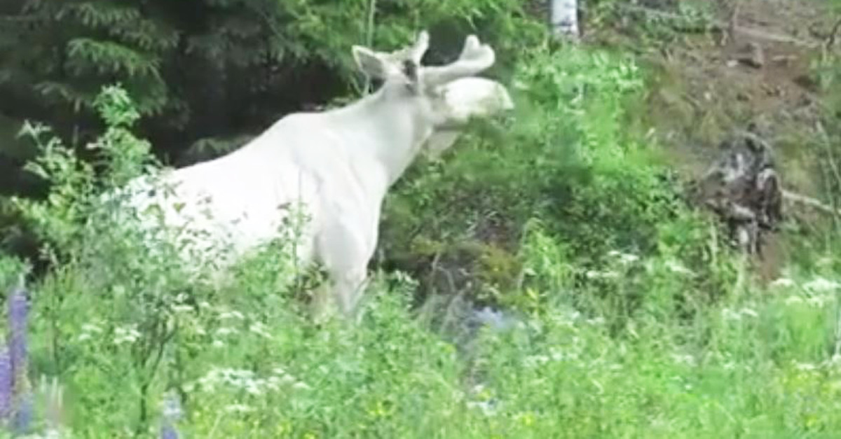 A beautiful white moose was captured on video and the footage is almost too good to be true