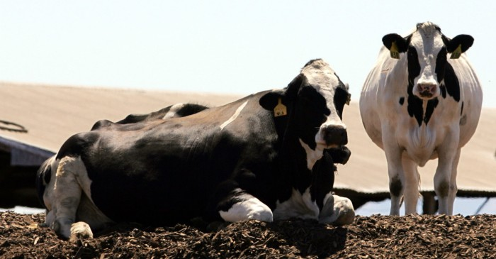 California Decides to Regulate Cow Farts in Order to Fight Global Warming