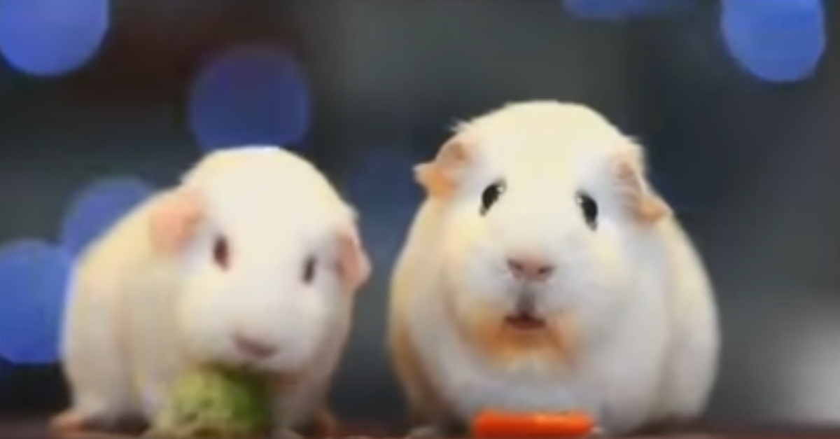 Sad guinea pig gets the Simon & Garfunkel treatment as he reminisces about lost love and misplaced carrots