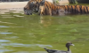 Tiger vs Duck video