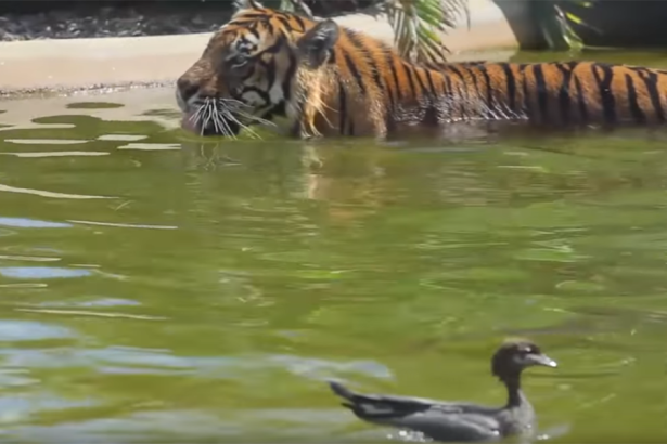 Duck and Tiger Duke it Out in Zoo Pool