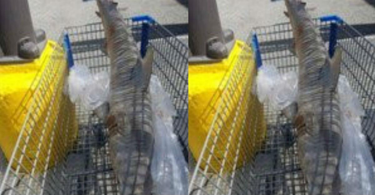 A dead shark found its way to a Florida Walmart parking lot