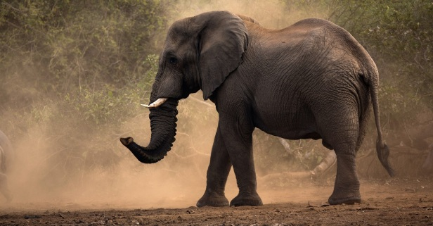 Do they really never forget? Here are 12 facts you may not know about elephants