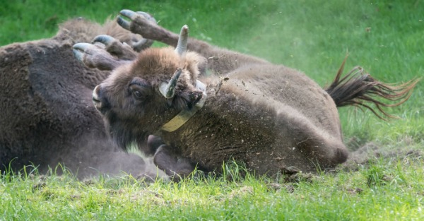 Watch this bison protect her baby from a wolf attack