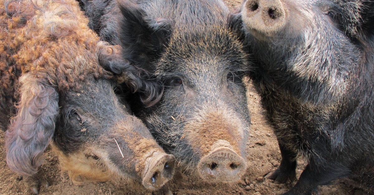 Texas hunters are ramping up their efforts to control one of the state's porkier populations