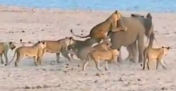 Watch this young elephant take on 14 lions