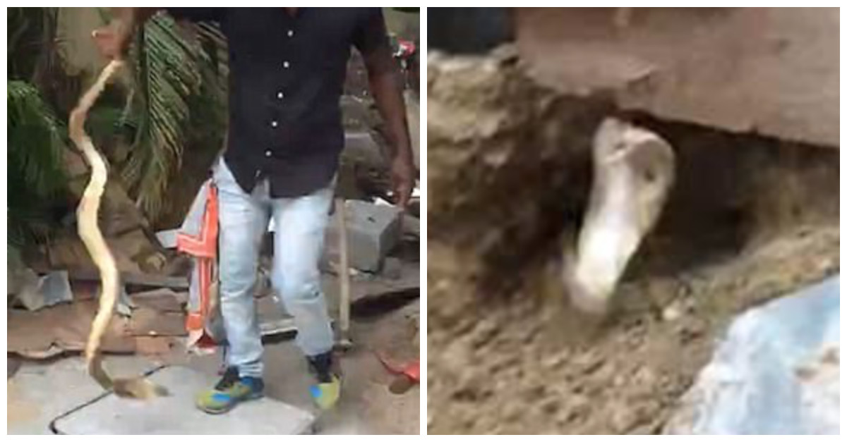 Insane man lures a cobra out of hiding and uses his bare hands to deal with it — no big deal