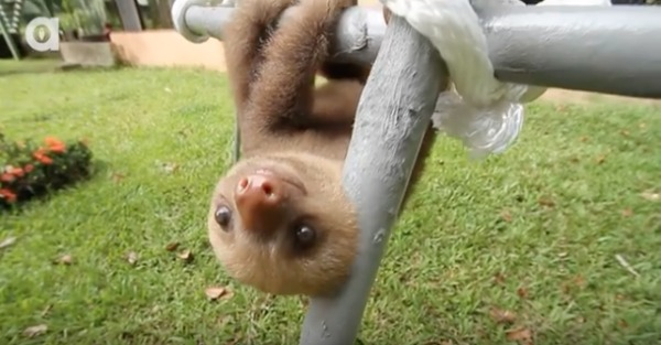 If you haven't heard a sloth talk, listen to these babies