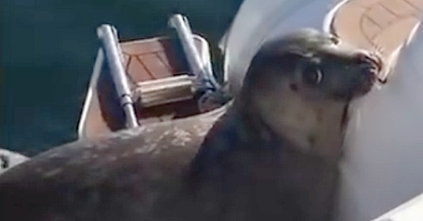 Killer whales are after this poor seal and you won't believe what he does
