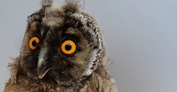These dancing, swimming, horseback-riding owls are incredible