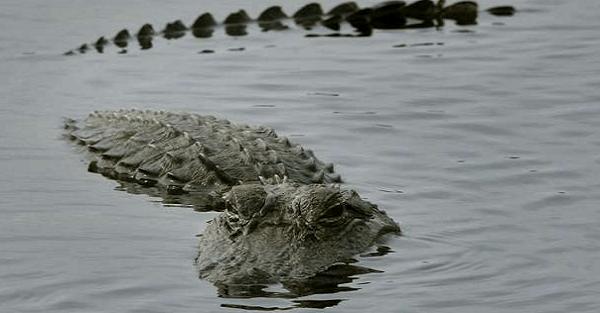 Hundreds of gators flock to sinkhole at Florida state park