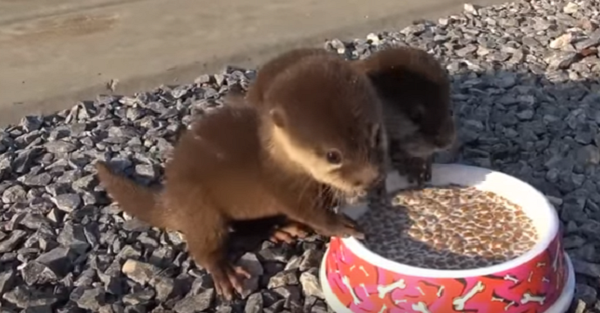 We dare you to watch these squeaky baby otters and not laugh