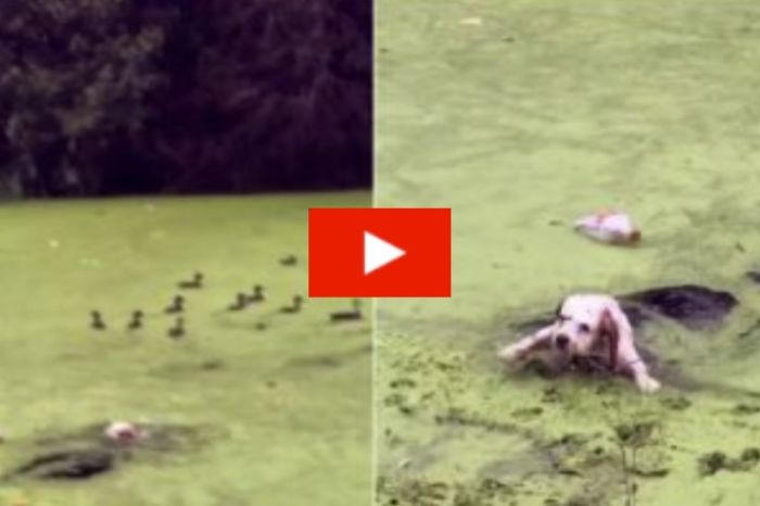 Curious Spaniel Mistakes Algae For Grass And Hilariously Ends Up Drenched