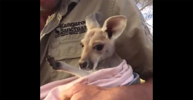 Watch this adorable joey use just about anything as a pouch