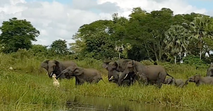 An elephant enjoying a drink cried out for help when a croc chomped on his trunk — his friends were up for the tusk