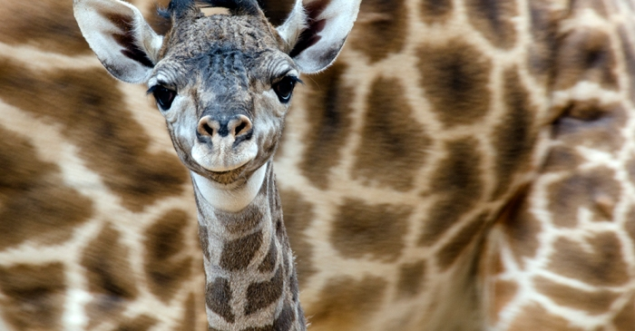 Love baby animals? The Houston Zoo is having a summer baby boom