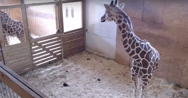 This may be the last time you see April the giraffe