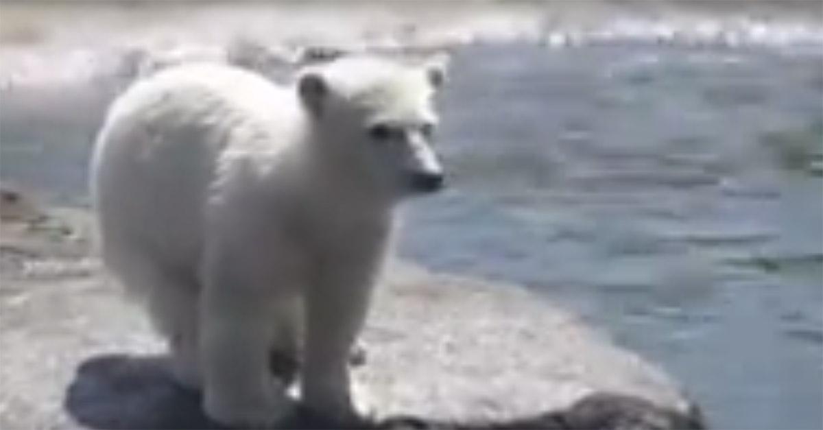 Three polar bear cubs walk into a zoo