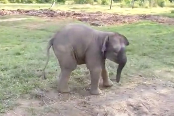 Watch this elephant's priceless reaction to seeing a baby goat