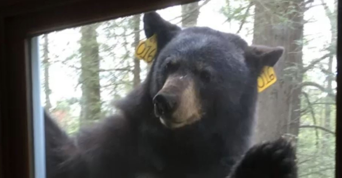 Mmmm, brownies: Black bear shows up at home when owner is baking