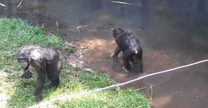 A bonobo decided poop-flinging wasn't enough and threw something much worse at mom and her kids